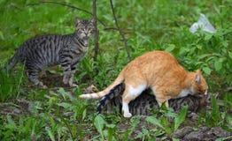 Accouplement d'un chat rouge ? un chat gris dans l'herbe verte photo libre de droits