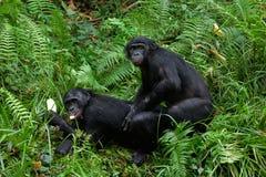 Accouplement de Bonobo. photographie stock libre de droits