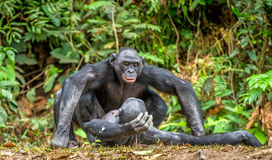 Accouplement de bonobos Photo stock