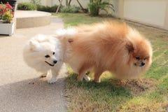 Accouplement de chiens de Pomeranian Image stock