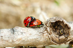Accouplement de coccinelle Images stock