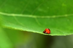Accouplement de coccinelle Photographie stock