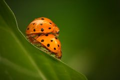 Accouplement de coccinelles Images stock