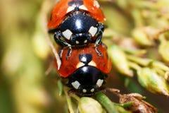 Accouplement de coléoptères de coccinelle Image libre de droits