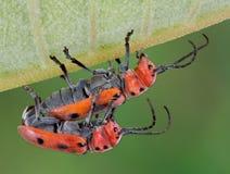 Accouplement de coléoptères de Longhorn Image libre de droits