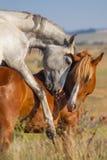 Accouplement de deux chevaux Photographie stock