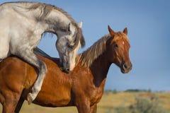 Accouplement de deux chevaux Photographie stock libre de droits