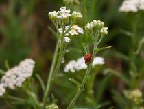 Accouplement de deux de coccinelle paires d'insectes Photographie stock