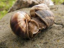 Accouplement de deux escargots Photographie stock