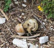 Accouplement de deux grands escargots avec des coquilles Images stock