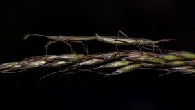 Accouplement de deux insectes d'isolement sur le fond noir Image stock