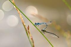 Accouplement de deux libellules Insectes se reposants sur une lame d'herbe au coucher du soleil Concept - animaux - nature photos libres de droits
