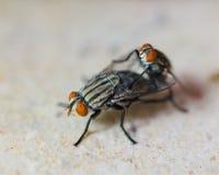 Accouplement de deux mouches domestiques Photos stock