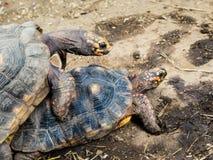 Accouplement de deux tortues Images libres de droits
