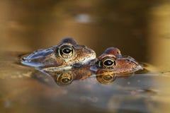 Accouplement de grenouilles Images libres de droits