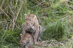 accouplement de léopards image libre de droits