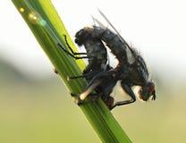 Accouplement de l'mouches Photographie stock libre de droits