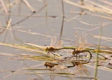 Accouplement de libellules photos stock
