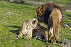 Accouplement de lions Images stock