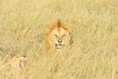 Accouplement de lions Photos stock