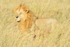 Accouplement de lions Photo stock