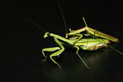 Accouplement de Mantis images libres de droits