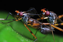 Accouplement de mouches Image libre de droits