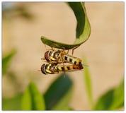 Accouplement de mouches de vol plané photo libre de droits