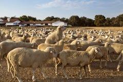 Accouplement de moutons Photographie stock libre de droits
