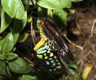 Accouplement de papillon de Birdwing photos libres de droits