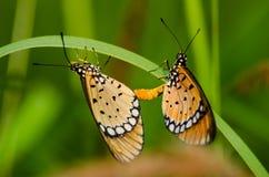 Accouplement de papillons Photos libres de droits