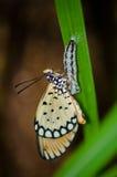 Accouplement de papillons Images libres de droits