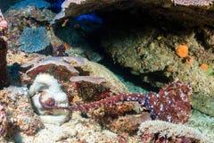 Accouplement de poulpe Photo libre de droits