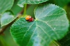 Accouplement de scarabées de Ladybird Photographie stock