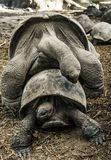 Accouplement de tortues Photo stock