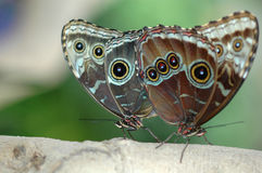 Accouplement des morphos 3 images stock