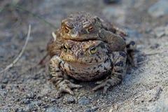 Accouplement masculin et femelle de grenouille Images stock