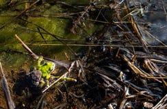 Accouplement Pacifique de regilla de Hyla de Treefrogs photos stock