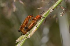 Accouplement rouge commun de scarabées de soldat photographie stock libre de droits