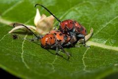 Accouplement rouge de coléoptères de Milkweed Photographie stock