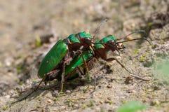 Accouplement vert de campestris de Cicindela de scarabées de tigre Photographie stock