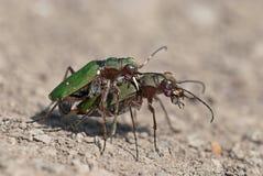 Accouplement vert de campestris de Cicindela de Tigre-scarabées Photographie stock libre de droits