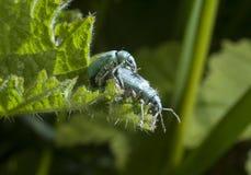 Accouplement vert de scarabées Photographie stock libre de droits