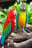 Accouplez le macaw Photographie stock libre de droits
