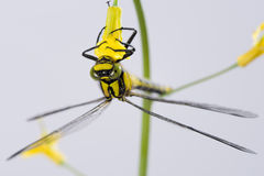 Accrocher de libellule à l'envers sur une fleur jaune Images libres de droits