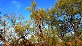 Accrocher de membre d'arbre de mesquite et cieux bleus photo stock