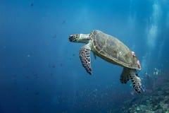 Accrocher de tortue Images libres de droits