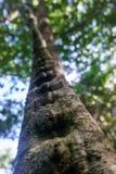 Accrocher en détail de liane d'un arbre dans le junglee tropical au Cuba Images stock