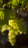 Accrocher ensoleillé de raisins Photos libres de droits