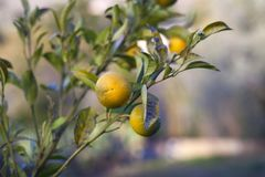Accrocher orange biologique sur l'arbre photos libres de droits